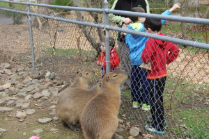 """Capybaras - the largest rodents in the world.  The kids looked at us blankly when Spouse and I simultaneously said """"R.O.U.S.'s!"""""""