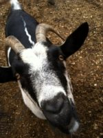 Seven Reasons Goats are Better Than Kids